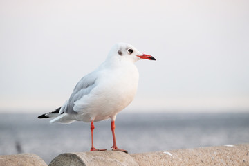 White seagull standing on the concrete - Soft Focus