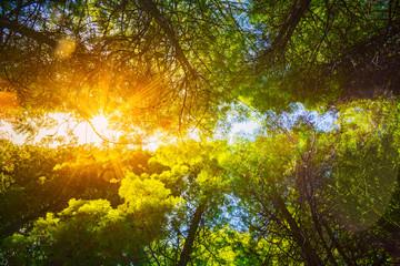 Sun Shining Through Canopy Of Tall Trees Woods. Sunlight In Deci