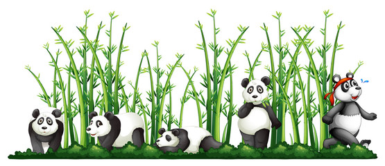 Pandas in the bamboo forest
