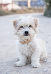 white cute sweet small dog sitting on the road. vertical image