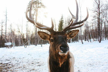 Portrait of Royal red deer buck with antlers