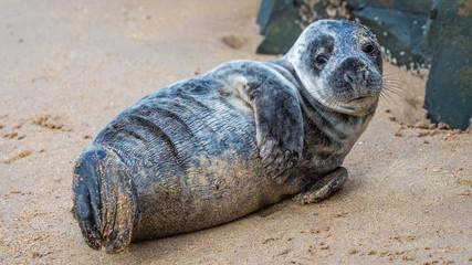 Grey seal pup on the Northumberland coast, England