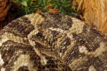 Snake in the terrarium - Gaboon viper