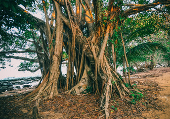 Tropical tree  on the island Koh Rong Samloem , Cambodia