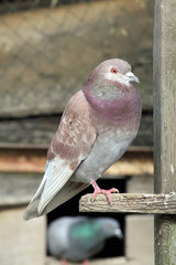 pigeon 22032016