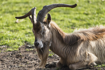 Goat in the Monza Park