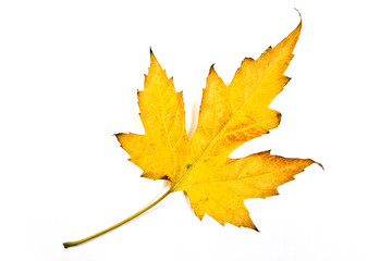 Autumn maple leaf isolated on white background. With clipping pa