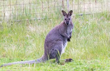 Kangaroo at road border, Australia