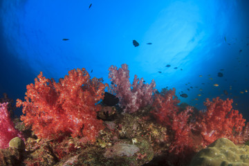 Healthy marine ecosystem: Coral reef in Similan Islands, Thailand