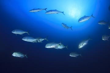 School Bigeye Trevally fish (Jackfish)