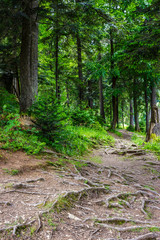 narrow path in a coniferous forest