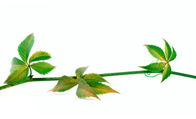 Twig of grapes leaves on white background