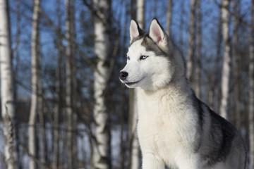blue-eyed Siberian Husky puppy