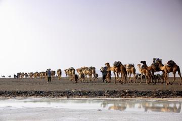 Afar herders lead a camel and donkey caravan. Danakil-Ethiopia. 0272