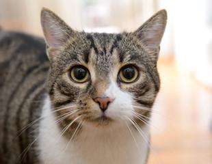 domestic tabby cat