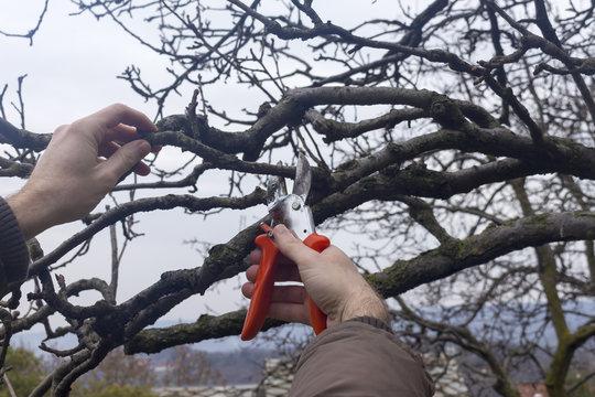 gardener makes the winter pruning with big scissors