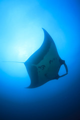 Manta rays swimming over coral reef with scuba divers and fish