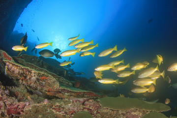 Goatfish and snappers on coral reef with scuba divers