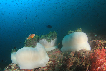 Coral and anemones on underwater reef with fish