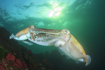 Cuttlefish mating and fighting