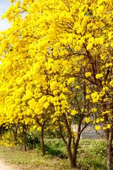 Yellow tabebuia flower blossom