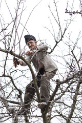 Old farmer trimming trees in his orchard