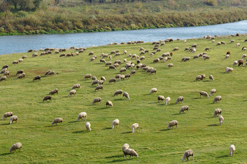 sheeps are grazed on a meadow