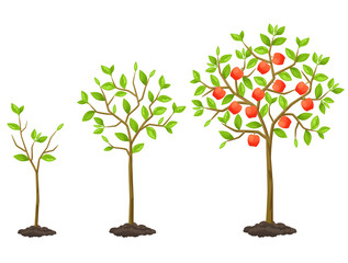 Growth cycle from seedling to fruit tree. Illustration for agricultural booklets, flyers garden
