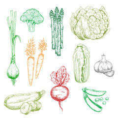 Carrot and green onion, broccoli and pea, chinese cabbage, zucchini asparagus and cauliflower, garlic and red beet vegetables. Color sketches for vegetarian food, farming, agriculture harvest themes