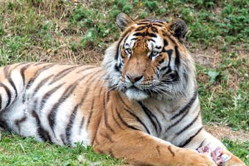 La tigre con lo sputino