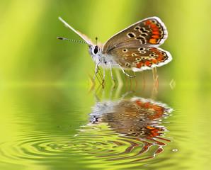 mariposa bebiendo agua