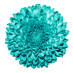 Turquoise chrysanthemum (golden-daisy) flower macro isolated on white