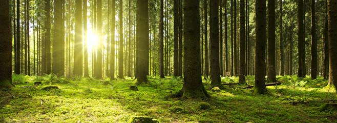 Światło słoneczne w zielonym lesie