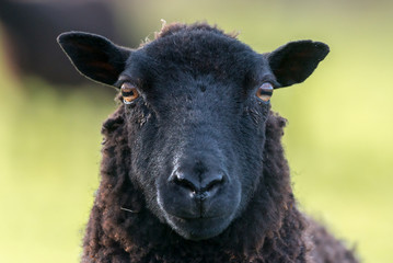 Black ewe sheep face