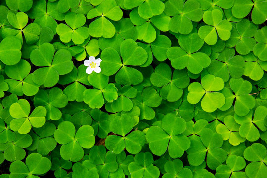 Green clover leaves background.