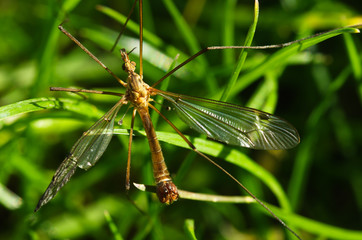 Old Crane fly overview - Tipula sp.