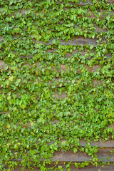 Common Ivy on Wood Wall