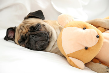 Pug dog and toy bear lying in bed