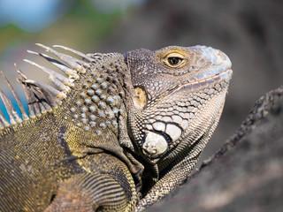 Observant Iguana on the Rocks