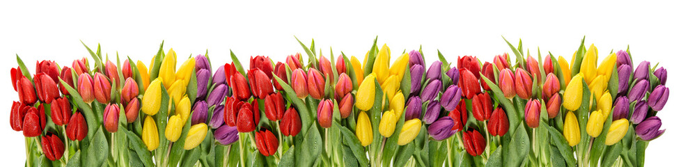 Fresh spring tulips water drops. Flower border