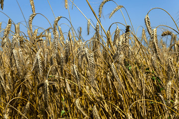 agriculture cereals. summer