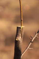 successful grafting on an apple tree