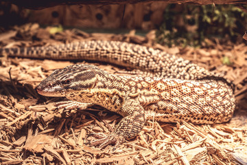 Lizard in the terrarium - leopard gecko