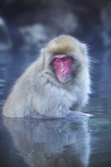 Japanese snow monkey bathing in hot spring in Jigokudani Park