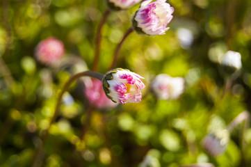 Close pink daisy flowers