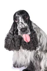 Funny english cocker spaniel dog showing a tongue