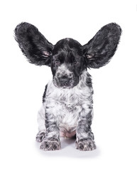 Funny english cocker spaniel puppy with ears up isolated on white