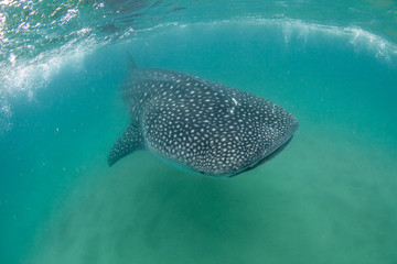 Fototapete - A friendly whale shark swimming towards the camera in the Indian Ocean