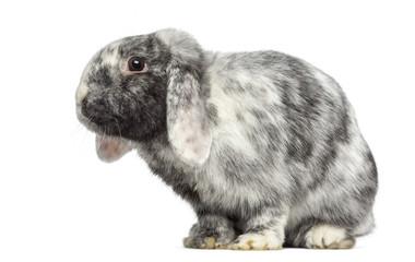 Ram Rhön Rabbit isolated on white
