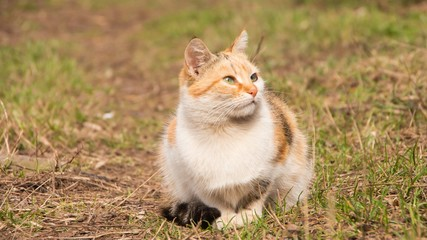 Beautiful fluffy tricolor cat among the  grass